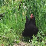 Happy freeranging hen Glenda took advantage of a rare sunnyhellip