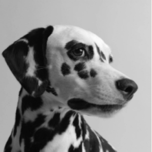 Saying Goodbye to the Spotted Wonder Dog